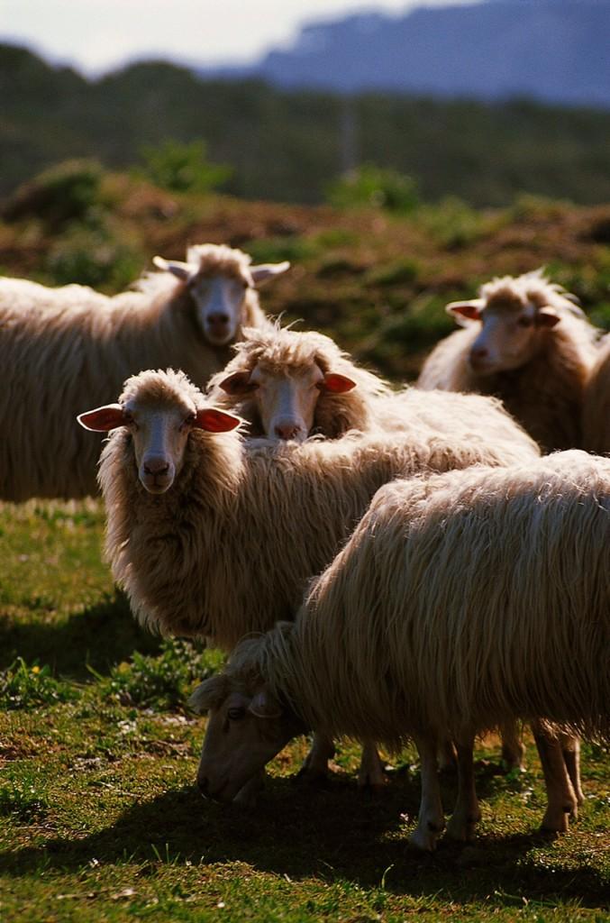 Italien: Alghero - Schafe bei Alghero
