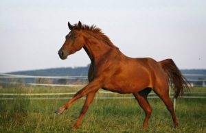 Bayerisches Warmblut, Deutsches Warmblut (Equus przewalskii f. caballus), Fuchsstute galoppiert ueber Weide, Deutschland, Allgaeu | Bavarian warmblood, German warmblood (Equus przewalskii f. caballus), chestnut mare pacing on pasture, Germany, Allgaeu [ Rechtehinweis: picture alliance / blickwinkel ]