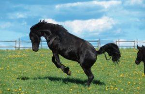 Friese (Equus przewalskii f. caballus), tobt ueber Weide | Friesian horse (Equus przewalskii f. caballus), raging on pasture [ Rechtehinweis: picture alliance / blickwinkel ]