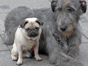 """Große Hunde gelten früher als """"geriatrisch"""" als kleine"""