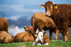 Kuh und Kalb: So sollte es sein, fordern viele Konsumenten