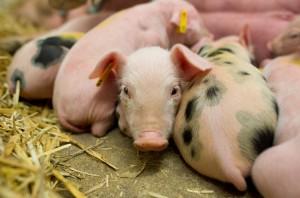 Die Zukunft der Tierhaltung: Tierärzte wollen sich einbringen